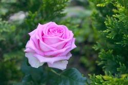 Lilac tea-hybrid rose.