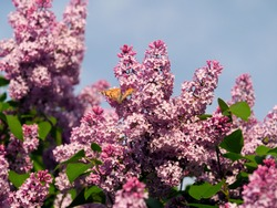 Lilac tree with flowers in Sunny weather.  Blooming tree lilacs and butterflies insects in Sunny weather