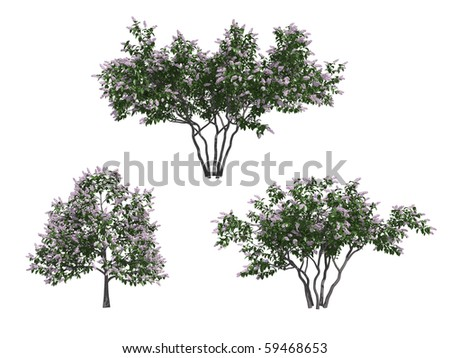 Lilac trees isolated on white background
