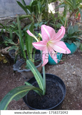 Lili hujan merah jambu(Zephyranthes rosea) umumnya dikenal sebagaizephyrlily kuba,lili hujan kemerahan, lily peri mawar, lili zephyr mawarataulily hujan merah jambu