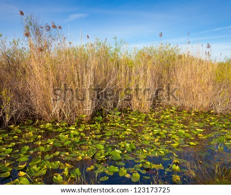 Lilies and reeds in the Everglades, Florida.