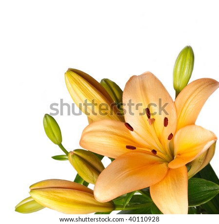 Lilies isolated over white background