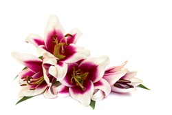 Lilies (Trumpet lilies) on a white background with space for text