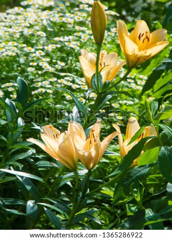 Lilium is a genus of herbaceous flowering plants growing from bulbs, all with large prominent flowers. Lilies are a group of flowering plants which are important in culture  in much of the world. #1365286922