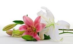 Lilium isolated on white