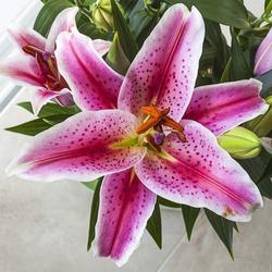 Lilium oriental or Stargazer