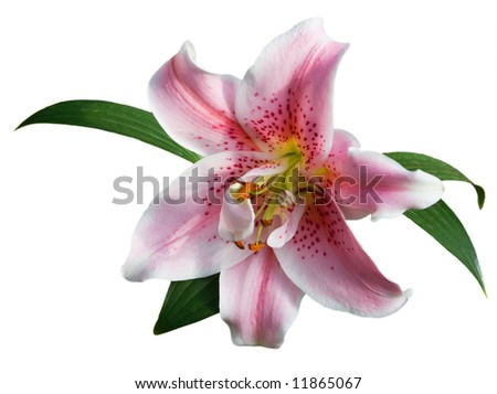 "Lilium ""Stargazer&quo t; (the Stargazer lily) - stock photo"