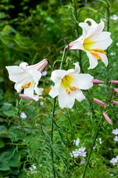 Lilium regale a white spring summer flower plant commonly known as king's lily royal lily or regal lily, stock photo image