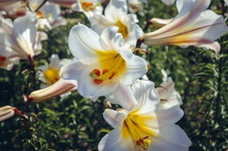 Lilium regale flowers commolny know as regal lily or royal lily