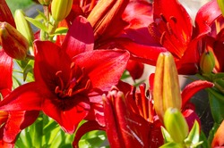 Lilium represent love, ardor and affection for your loved ones, while orange lilies symbolize happiness and warmth. Lilium longiflorum, an Easter lily, is a symbol of Easter