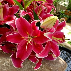 Lilium 'Stargazer' scented red oriental lilies closeup.