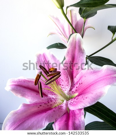 "Lilium ""Stargazer"" (the Stargazer lily) is a hybrid lily of the Oriental group"
