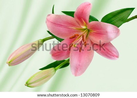 Lilium with Light Green Background
