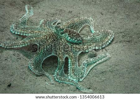 Lilliput longarm octopus (Macrotritopus defilippi). Picture was taken in the Banda sea, Ambon,  Indonesia