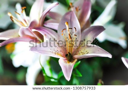 lilly,lilly flower,lilly plant pr pink lilly