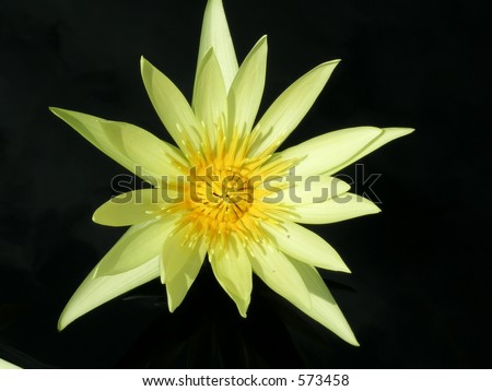 Lilly Pad Flower - stock photo