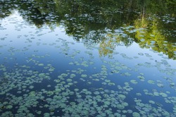 Lilly pad pond with sky and tree reflection.