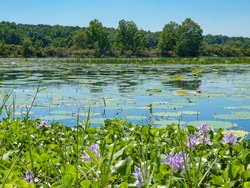 Lilly Pads and Purple Flowers in Lake with Blue Sky