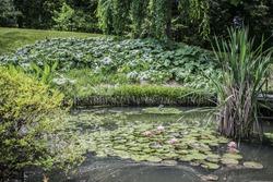 lillypad  near pond