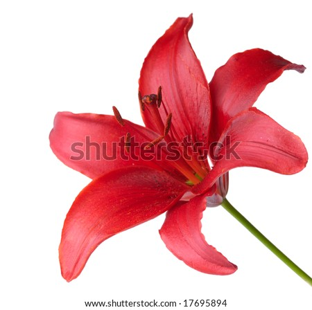 Lily against white background
