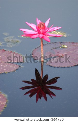 lily and its reflection