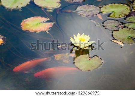 Lily and orange koi in a pond