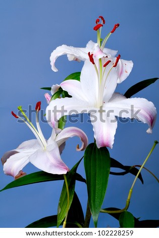 Lily bunch of flowers on a blue background
