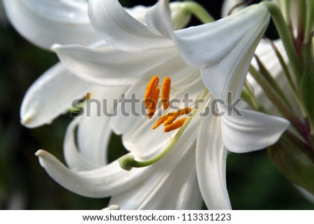 lily close up