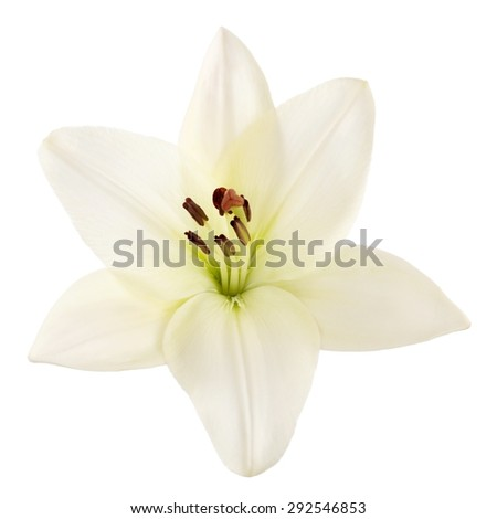 lily  easter lily  white.