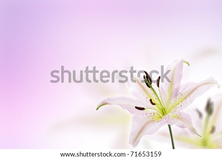 Lily flower background with pink gradient