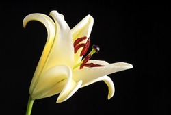 Lily Flower - blossom bloom blooming blossoming black background - White Green Yellow Black Background Colorful