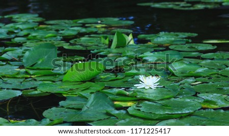 Lily flower blossoms or amazing lotus blooming on pond. White water lilies floating on a river landscape. Beautiful white flower with green leaves on lake surface.