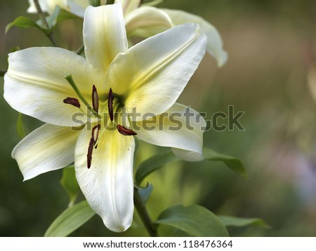 Lily flower close up