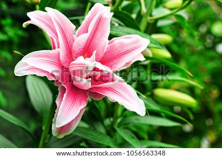 Lily flower in garden. Commonly known as Oriental Stargazer Lily