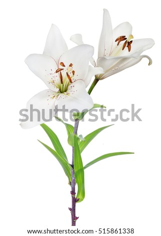 lily flower isolated on white...