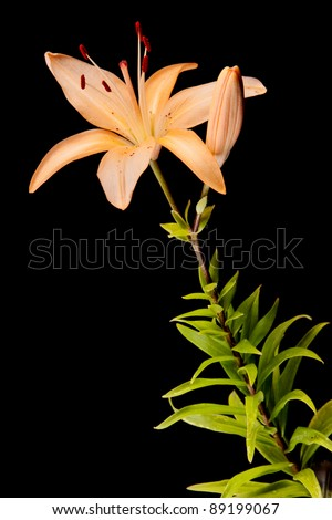 lily isolated on black