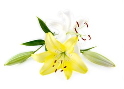 Lily isolated on white