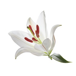 Lily isolated on white background. Romantic wedding, holiday decoration. Wedding floral decoration. Spring background.
