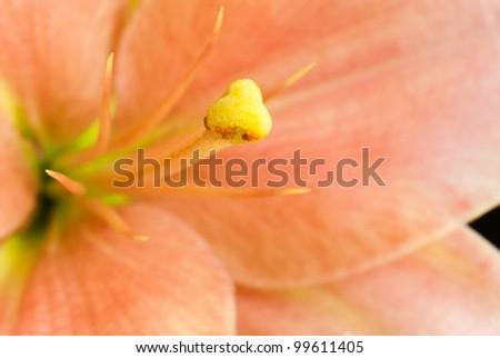 lily macro