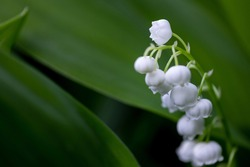 Lily of the valley at spring forest. Convallaria majalis, also called Lily of the valley, other names include May bells. May-lily flowers.