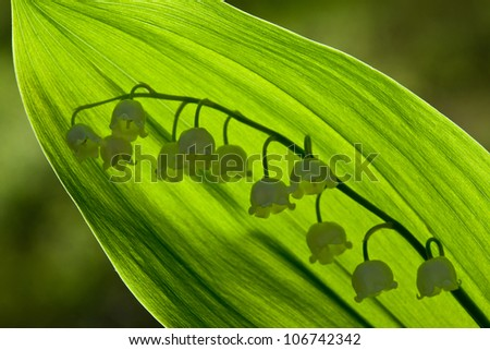 Lily of the valley - beautiful spring flower