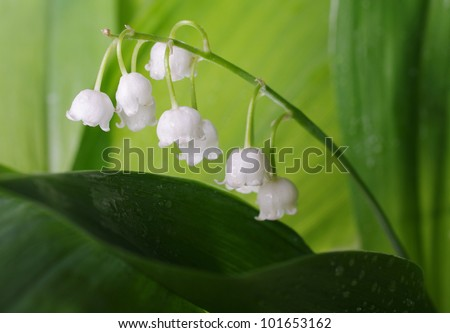 Lily of the valley .Close up