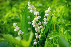 Lily of the valley. Flower Spring Sun White Green Background Horizontal. Ecological background Blooming lily of the valley green grass background in the sunlight. Sun rays fall beautiful.