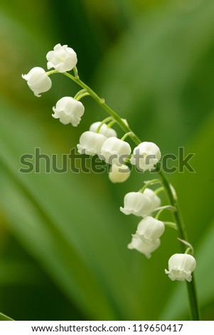 Lily of the valley flower with green leaves growing in nature