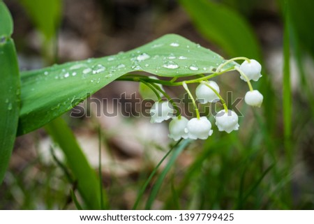 Lily of the valley in the forest. Closeup of lily of the valley in the forest.