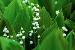 Lily of the valley (May-lily, Convallaria majalis) blooming on rainy day