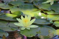Lily pad in a pond