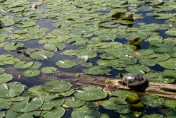 Lily pad pond with turtle sunning on a log