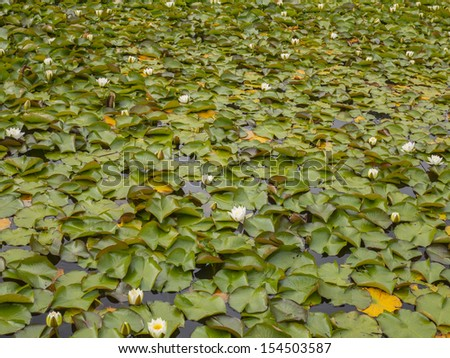 lily pads in bloom on a lake surface of a small lake in ireland