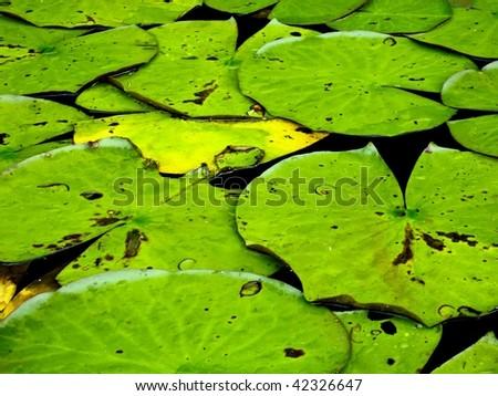 Lily Pads on North Carolina Lake